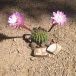Bee in Cactus Flower