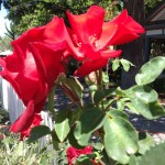 Showy red roses